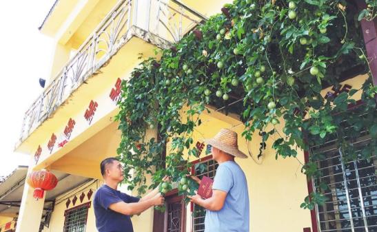 白沙筑起瓜果飘香的美丽庭院 村民在家门口种植百香果、木瓜等果蔬